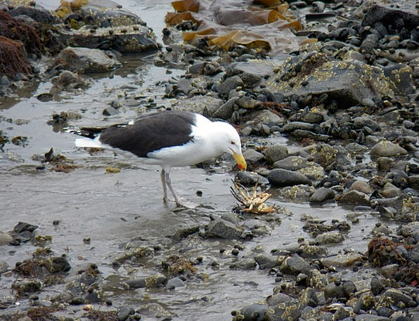 Seagull Drink Food Crab Gulls Crabs Mealtime Wildl