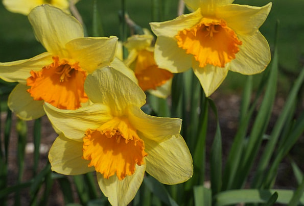 Yellow Creamy Carroty Daffodils Orange Flowers Pla
