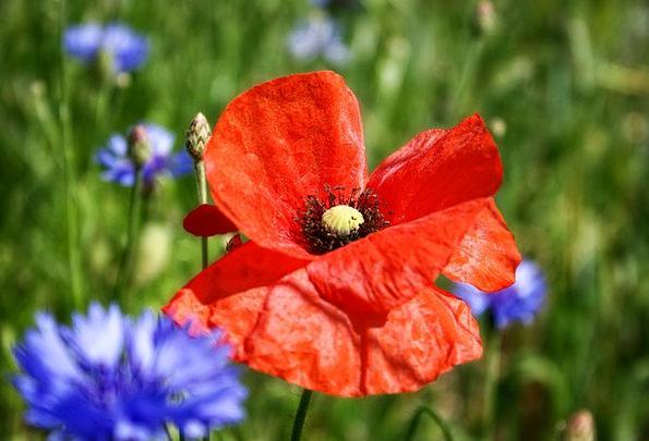Poppy Hue Flower Floret Color