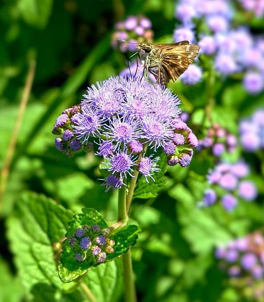 Blue Mist Flowers Landscapes Nature Wild Flowers W