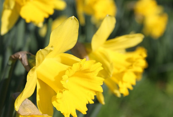 Daffodil Floret Easter Flower Yellow Underside Petals Daffodils