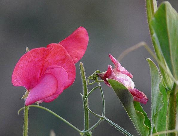 Vetch Fabaceae Vicia Faboideae Flora Legume Red Fl