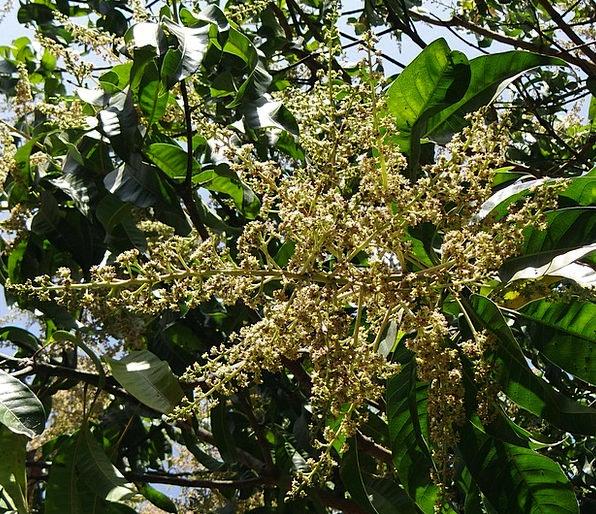 Flowers Plants Landscapes Nature Mango Bloom Mango