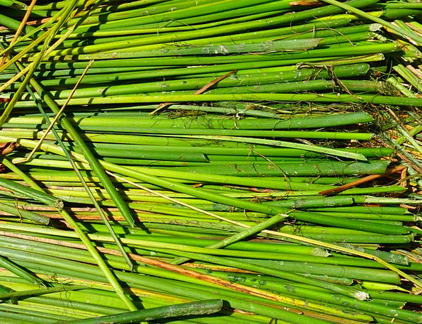 Reed Cane Rush Haste Totoraschilf Green Lime Lake