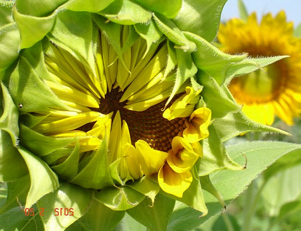 Sunflower Landscapes Vegetal Nature Plants Florae