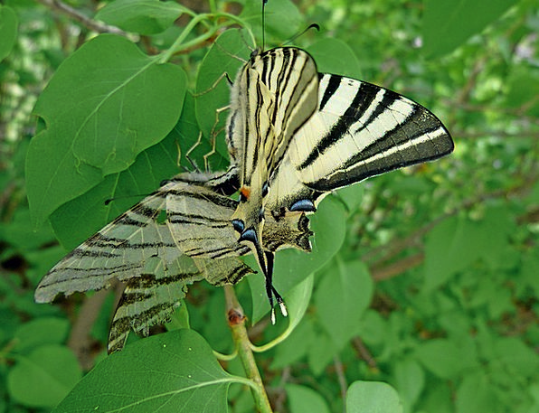 Swallowtail Landscapes Nature Butterfly Giant Swal