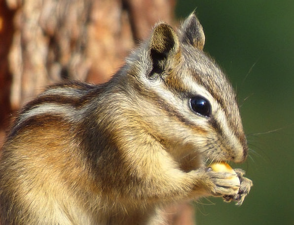 Chipmunk Physical Forest Woodland Animal Nature Co