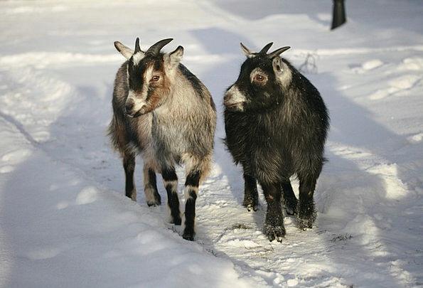 Goat African Dvärgget Dvärgget