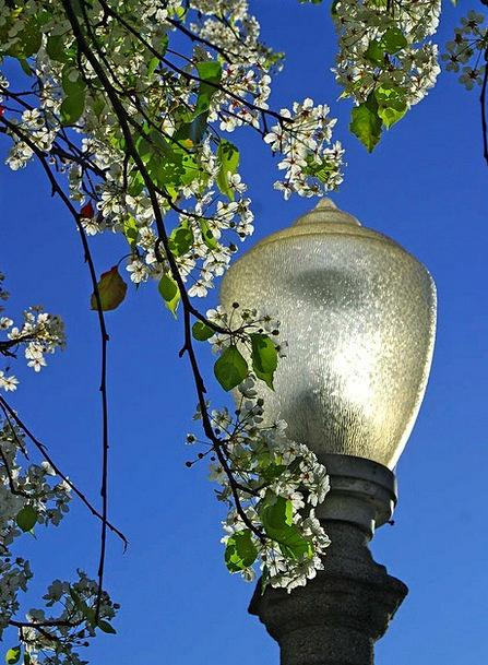 Lantern Lamp Common Tree Sapling Park Street Lamp