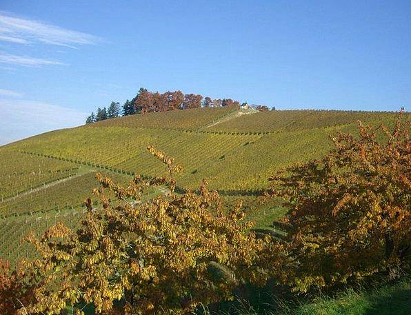 Vineyard Winery Fall Bottenau Autumn Golden Octobe