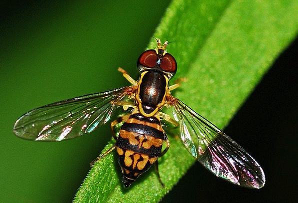 Hoverfly Bug Syrphid Insect Macro Instruction Inve