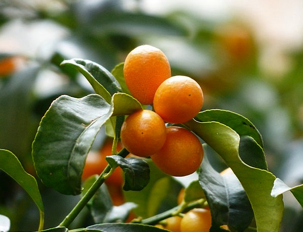 Kumquats Drink Sapling Food Branch Division Tree R