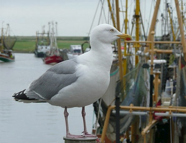 Seagull Fowl Port Harbor Bird Ship Fishing Port Gr