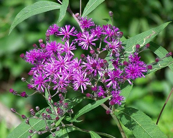 Thistle Landscapes Floret Nature Flowers Plants Fl