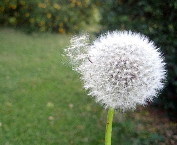 Dandelion Waft Wind Breeze Flower Floret Yard Gree