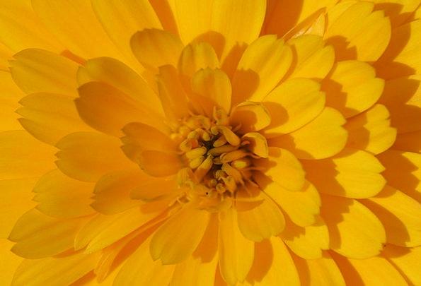 Marigold Floret Yellow Creamy Flower Calendula Off