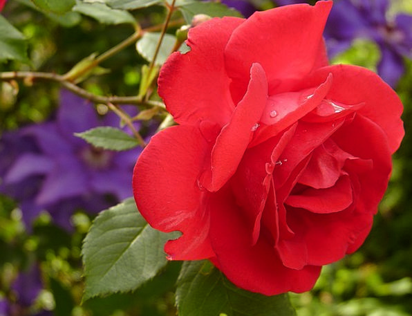 Rose Design Floret Red Rose Flower Rose Bloom Frag