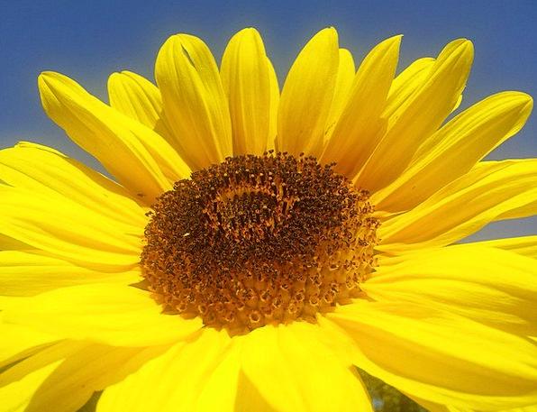 Sun Flower Landscapes Creamy Nature Summer Straw-h