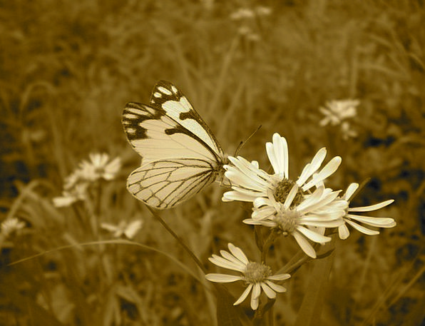 Butterfly Landscapes Floret Nature Sepia Flower Na