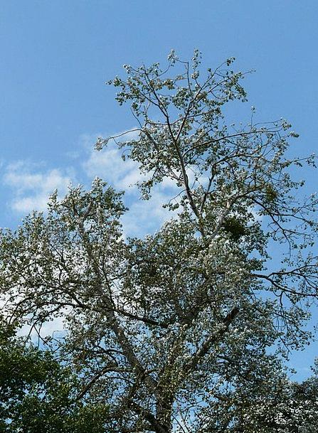 Populus Alba Sapling Poplar Tree White Poplar Graz