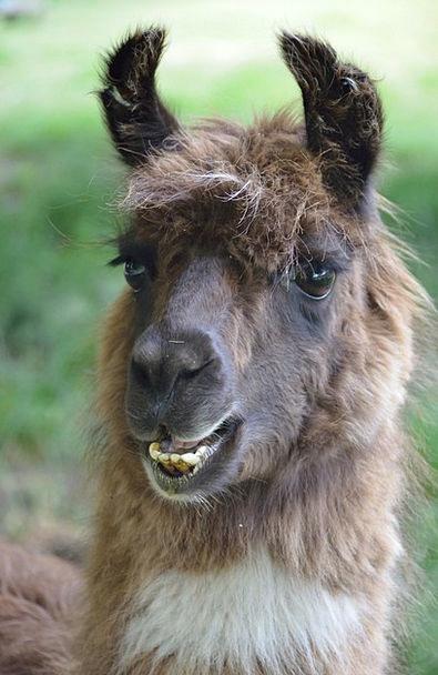 Llama Physical Mammal Creature Animal Camelid Brow