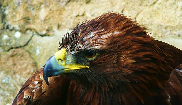 Eagle Fowl Animal Physical Bird Bird Of Prey Wildl