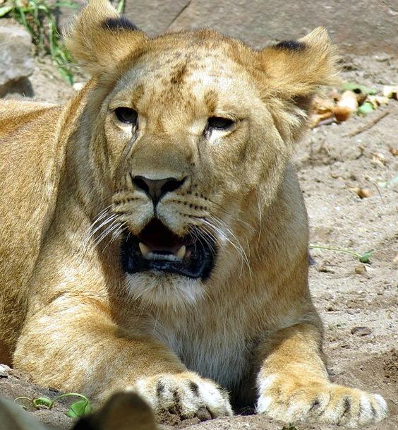 Lioness Predator Marauder Wildcat Nature Zoo Menag