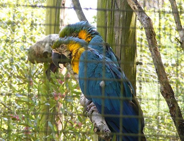 Parrots Imitators Zoo Menagerie Encaged Birds Natu