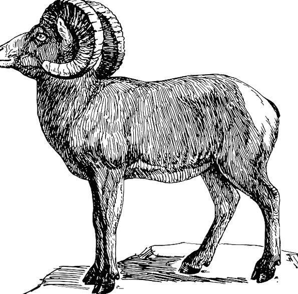 Ram Butt Sheep Ewe Goat Wild Animal Physical Zodia