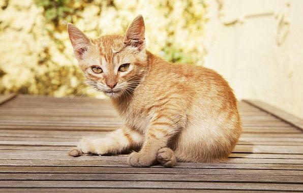 Cat Feline Brat Sweet Sugary Puppy