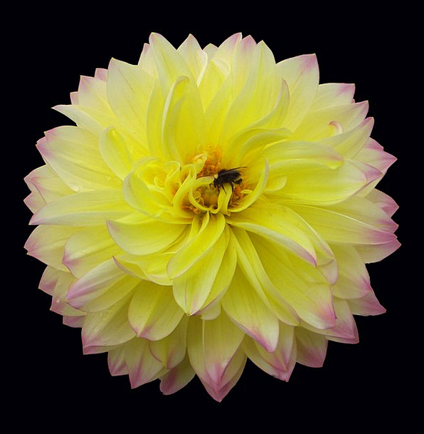 Dahlia Creamy Flower Floret Yellow Tinted Isolated