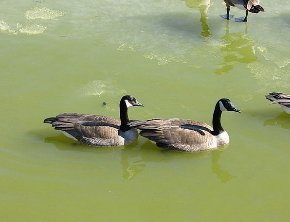 Geese Friend Pond Pool Mate Water Aquatic Bird Fow