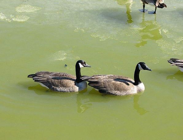 Geese Friend Pond Pool Mate Water Aquatic Bird Fow