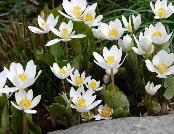 Blood Turmeric Plants Sanguinaria Flowers Spring C