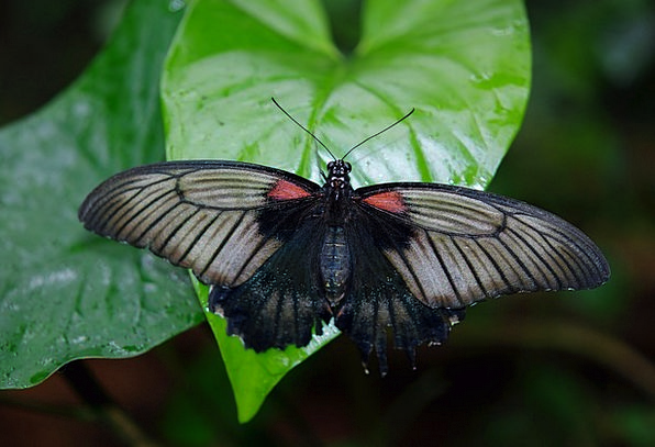 Butterfly Wing Annex Insect Antennae Wildlife Natu
