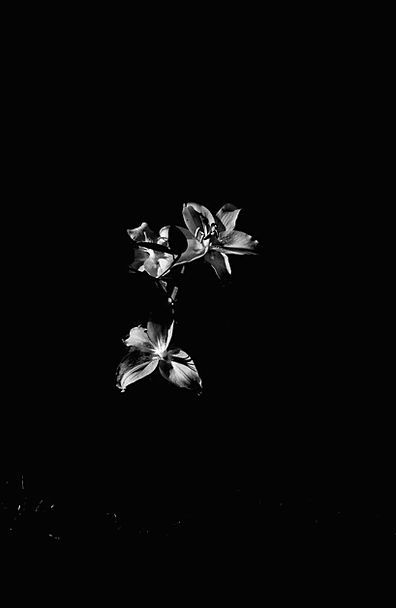 Flowers Plants Light Bright Black And White