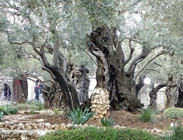 Gethsemane Plot Jerusalem Garden East Israel Old R