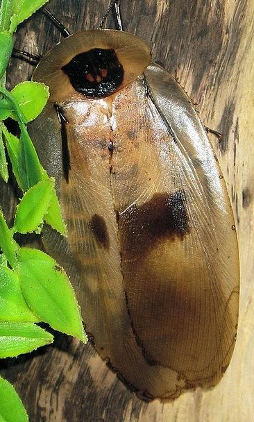 Giant Huge Cockroach Brazilian Detail Cockroaches