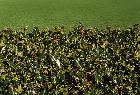 Holly Landscapes Hedgerow Nature Fence Barrier Hed