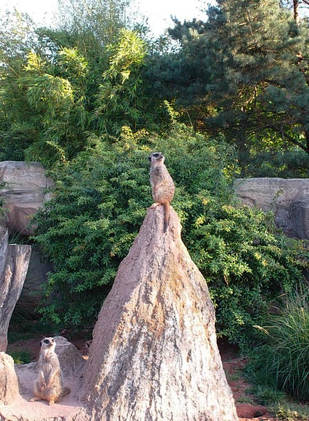 Meerkat Menagerie Animal Physical Zoo Hill Animals