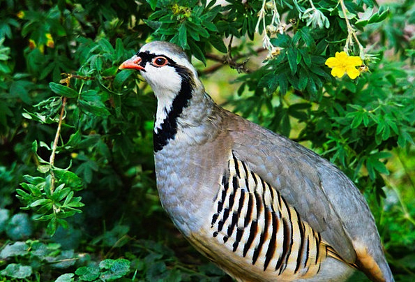 Rock Partridge Fowl Animals Faunae Bird Nature Cou
