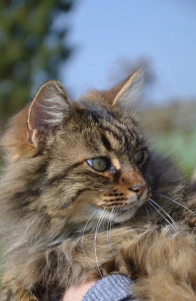 Longhair Cat Feline Animal Physical Cat