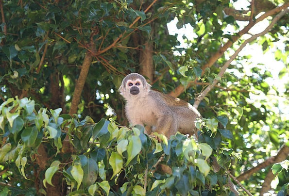 Monkey Ape Spider Monkey Amazon Cute Tree Sapling