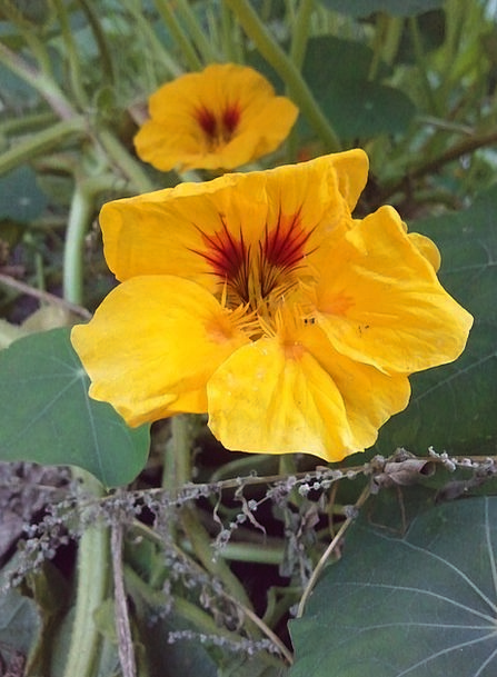 Nasturtium Landscapes Carroty Nature Green Lime Or