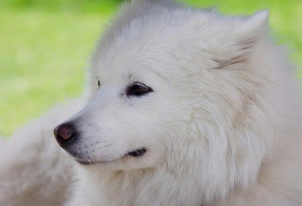 Dog Canine White Snowy Laika Animals Faunae