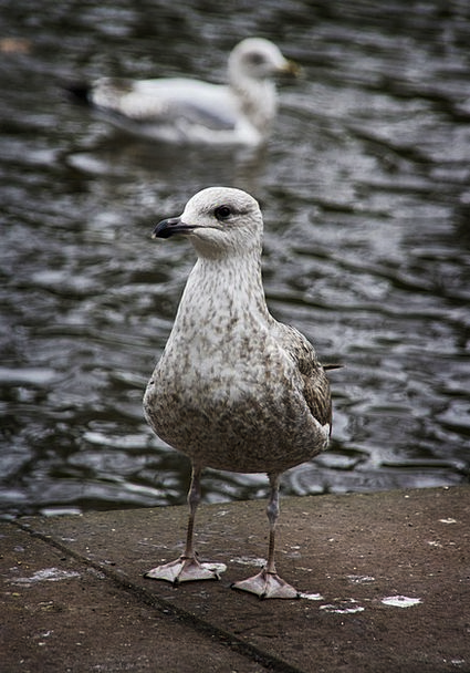 Gull Fowl Sea Gull Bird Gulls St Stephens Green Se