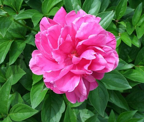 Peony Landscapes Nature Flower Floret Blossom Plan