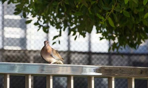 Dove Pacifist Fowl City Pigeon Bird Animal World W