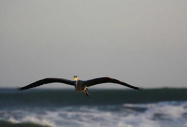 Heron Marine Flying Hovering Sea