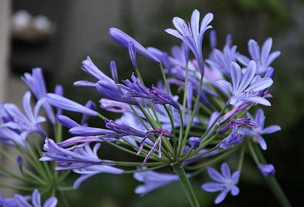 Agapanthus Landscapes Nature Blue Lily Lily Flower